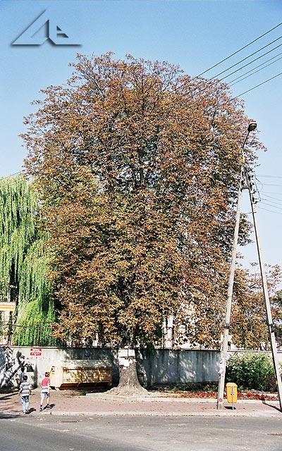 To drzewo zasługuje na szczególne wyróżnienie.<br>W latach osiemdziesiątych w jego cieniu stał wózek z wodą sodową w cenie 2 złotych za szklaneczkę, natomiast woda z sokiem kosztowała 4 złote.<br>Przypomnę, że na tym drzewie zawsze były wieszane nekrologi.