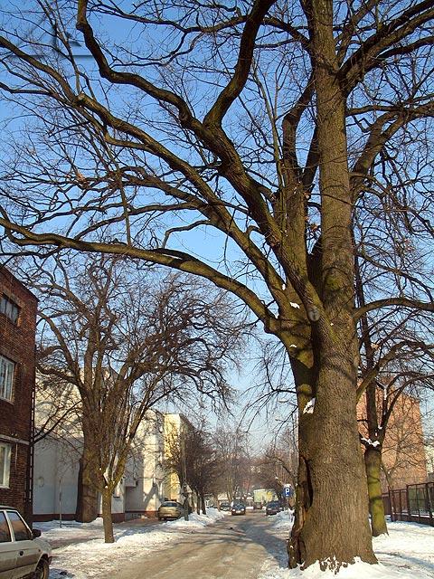 Drzewo jak wygląda, każdy widzi.<br />Ale to drzewo jest częścią jezdni na ulicy Powstańców.